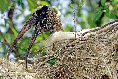Photograph - Wood Stork by Millard H. Sharp