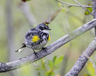 Photograph - Yellowrumped Warbler by Doug Lloyd