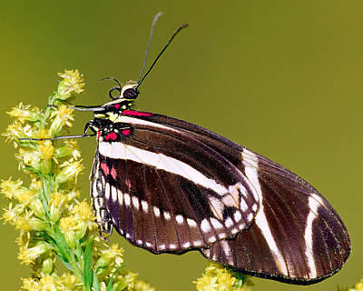 Photograph - Zebra Butterfly Heliconius Charitonius by Millard H. Sharp