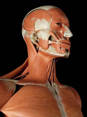 Human Head Photograph - Human Facial Muscles by Sciepro