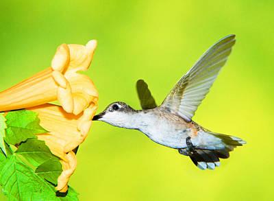 Photograph - Ruby Throated Hummingbird by Millard H. Sharp