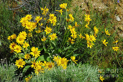 Photograph - 710a Arrowroot Balsamroot by NightVisions