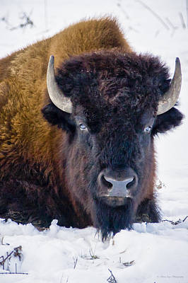 Photograph - Wary Buffalo by Albert Seger