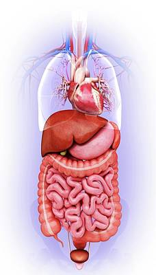 Human Digestive System Print by Pixologicstudio