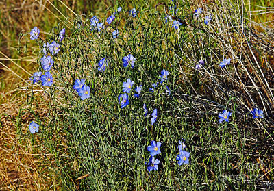 Photograph - 720a Western Blue Flax by NightVisions