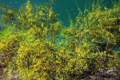 Photograph - 724a Yellow Bush by NightVisions