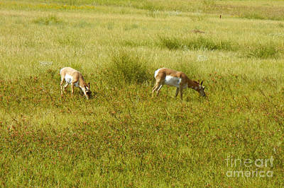 Photograph - 740p Pronghorn Antelope by NightVisions
