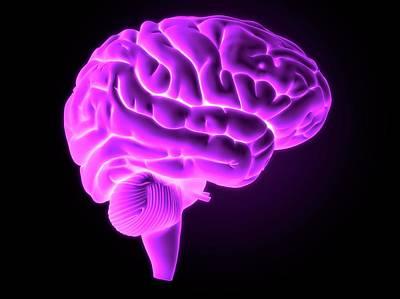 Human Brain Photograph - Human Brain by Sebastian Kaulitzki
