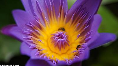 Photograph - Lotus  by Gornganogphatchara Kalapun