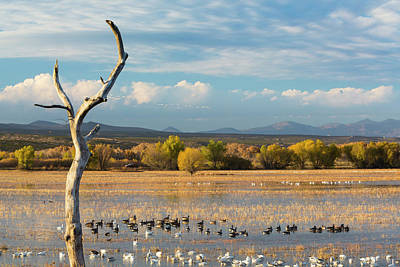 Snow Geese Photograph - Usa, New Mexico, Bosque Del Apache by Jaynes Gallery