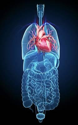 Human Heart Photograph - Human Internal Organs by Pixologicstudio