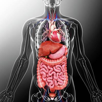 Human Internal Organs Art Print by Pixologicstudio