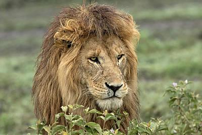 Lion Wall Art - Photograph - Africa, Tanzania, Serengeti by Charles Sleicher
