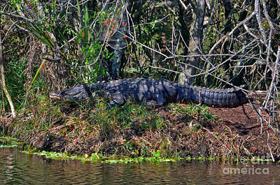 Photograph - 8- Alligator by Joseph Keane