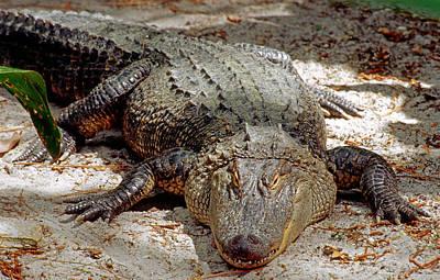 Photograph - American Alligator Alligator by Millard H. Sharp