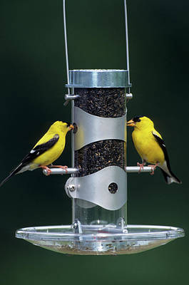 American Goldfinches (carduelis Tristis Print by Richard and Susan Day