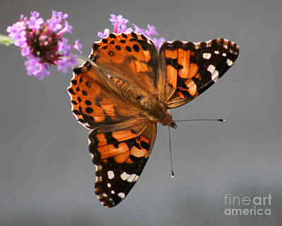 American Painted Lady Butterfly Art Print by Karen Adams