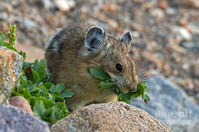 Photograph - American Pika by Fred Stearns