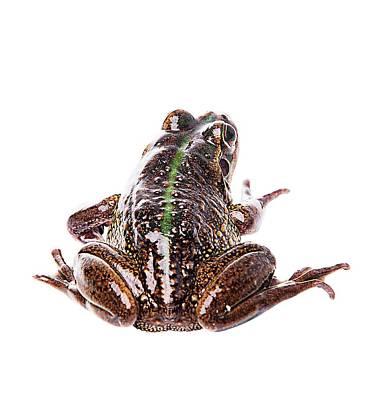 Amphibians On White Art Print