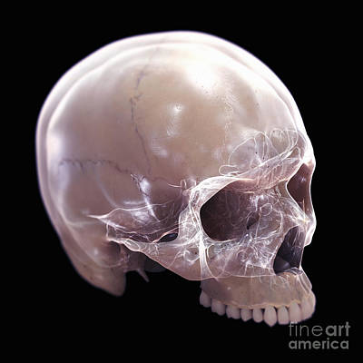 Aperture Photograph - Anatomy Of The Skull by Science Picture Co