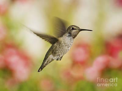 Bird Photograph - Anna's Hummingbird by Dan Suzio