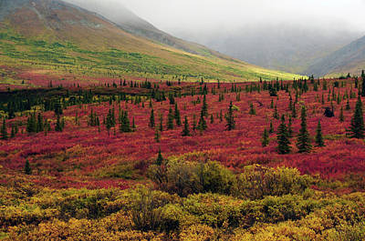 Autumn On The Taiga, Denali National Art Print