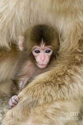 Baby Snow Monkey, Japan Art Print by John Shaw