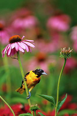 Baltimore Oriole (icterus Galbula Art Print by Richard and Susan Day