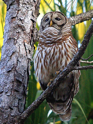 Photograph - Barred Owl by Ira Runyan
