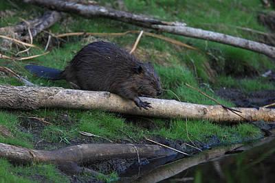 Rowing - Beaver on shore by Mark Wallner