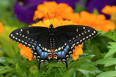 Blue Swallowtail Photograph - Black Swallowtail Butterfly, Papilio by Darrell Gulin