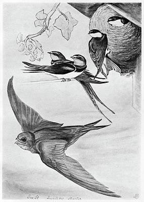 Swallow Drawing - Blackburn Birds, 1895 by Granger