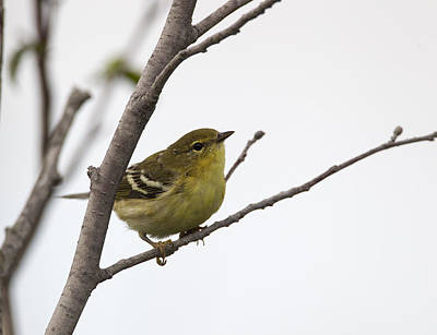 Photograph - Blackpoll Warbler by Doug Lloyd