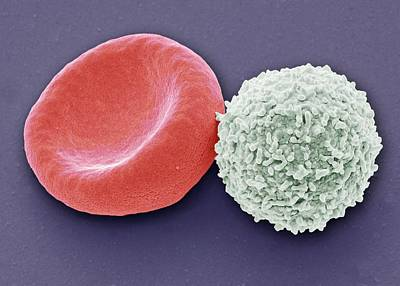 Blood Cells Art Print