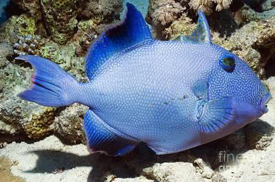 Blue Triggerfish Art Print by Georgette Douwma