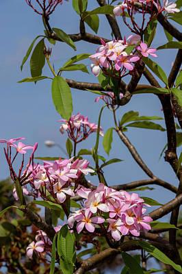 Oleander Photograph - British West Indies, Cayman Islands by Lisa S. Engelbrecht