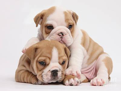 Bulldog Puppies Photograph - Bulldog Pups by Mark Taylor