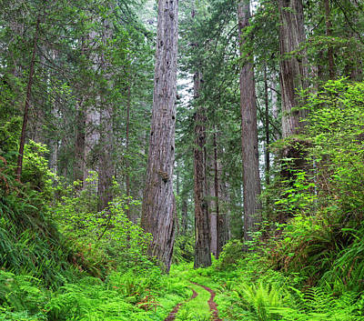 California, Del Norte Coast Redwoods Art Print