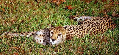 Photograph - Cheetah Acinonyx Jubatus by Millard H. Sharp