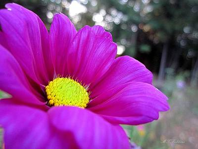 Photograph - Cosmos by MTBobbins Photography