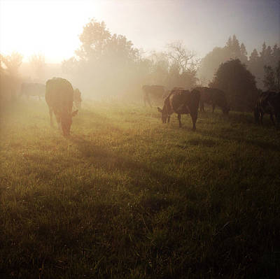 Cows Print by Les Cunliffe