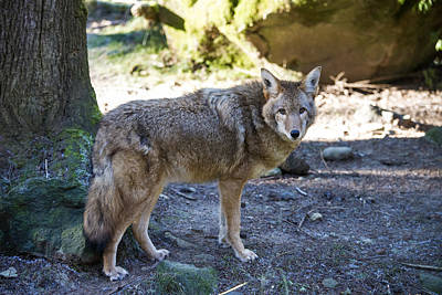 Photograph - Coyote by Mark Newman