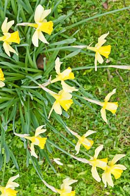 Daffodils Photograph - Daffodils by Tom Gowanlock