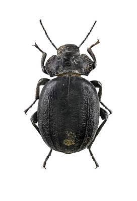 Hybrida Photograph - Darkling Beetle by F. Martinez Clavel