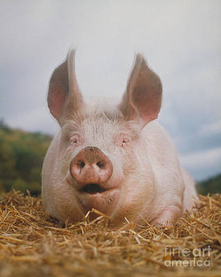 Photograph - Domestic Pig by Hans Reinhard