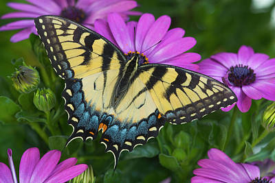 African Daisy Photograph - Eastern Tiger Swallowtail Butterfly by Darrell Gulin