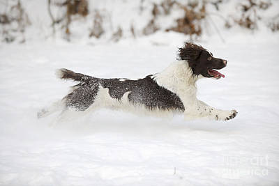 Dog In Snow Photograph - English Springer Spaniel by John Daniels