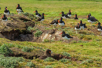 Carcass Island Photograph - Falkland Islands, Carcass Island by Jaynes Gallery