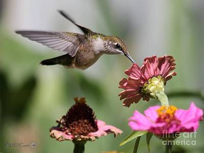 Photograph - Female Ruby-throated Hummingbird by J McCombie