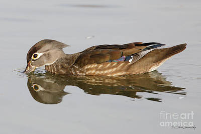 Photograph - Female Wood Duck by Steve Javorsky